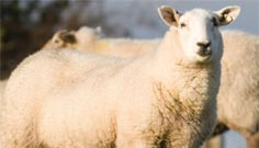 Animal Health sheep