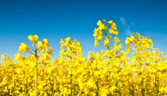 Oil Seed Rape Grain Merchants