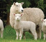 Scanning Lambing Calculator