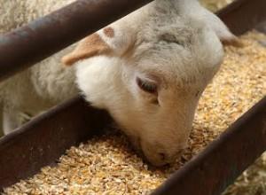 Pre Lambing Management