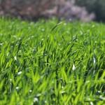 Grass - forage Ad