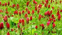 Sowing Cover Crops for GLAS Crimson Clover