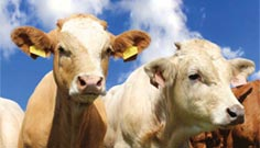 Animal Health Cattle